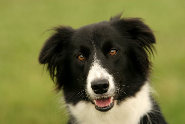 Acute Myeloid Leukemia in Dogs - Symptoms, Causes, Diagnosis, Treatment, Recovery, Management, Cost