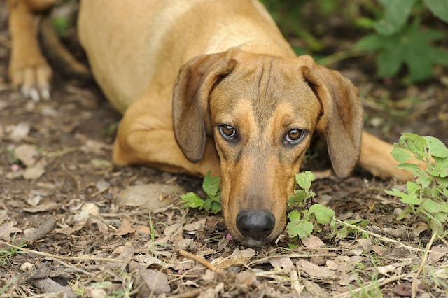 Adrenal Gland Cancer (Pheochromocytoma) in Dogs - Symptoms, Causes, Diagnosis, Treatment, Recovery, Management, Cost