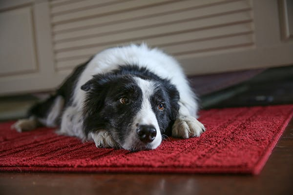 Allergic Bronchitis in Dogs - Symptoms, Causes, Diagnosis