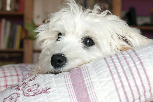 Allergies and Adverse Effects to Medication in Dogs - Symptoms, Causes, Diagnosis, Treatment, Recovery, Management, Cost