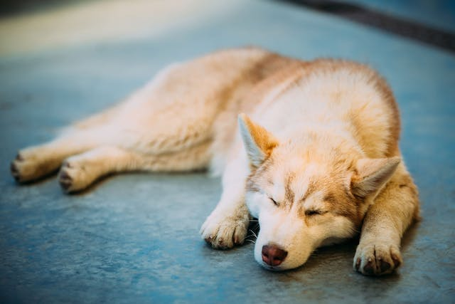 Anemia Related to the Immune System in Dogs - Symptoms, Causes, Diagnosis, Treatment, Recovery, Management, Cost