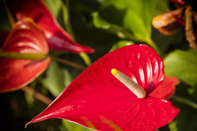 Anthurium Poisoning in Dogs - Symptoms, Causes, Diagnosis, Treatment, Recovery, Management, Cost
