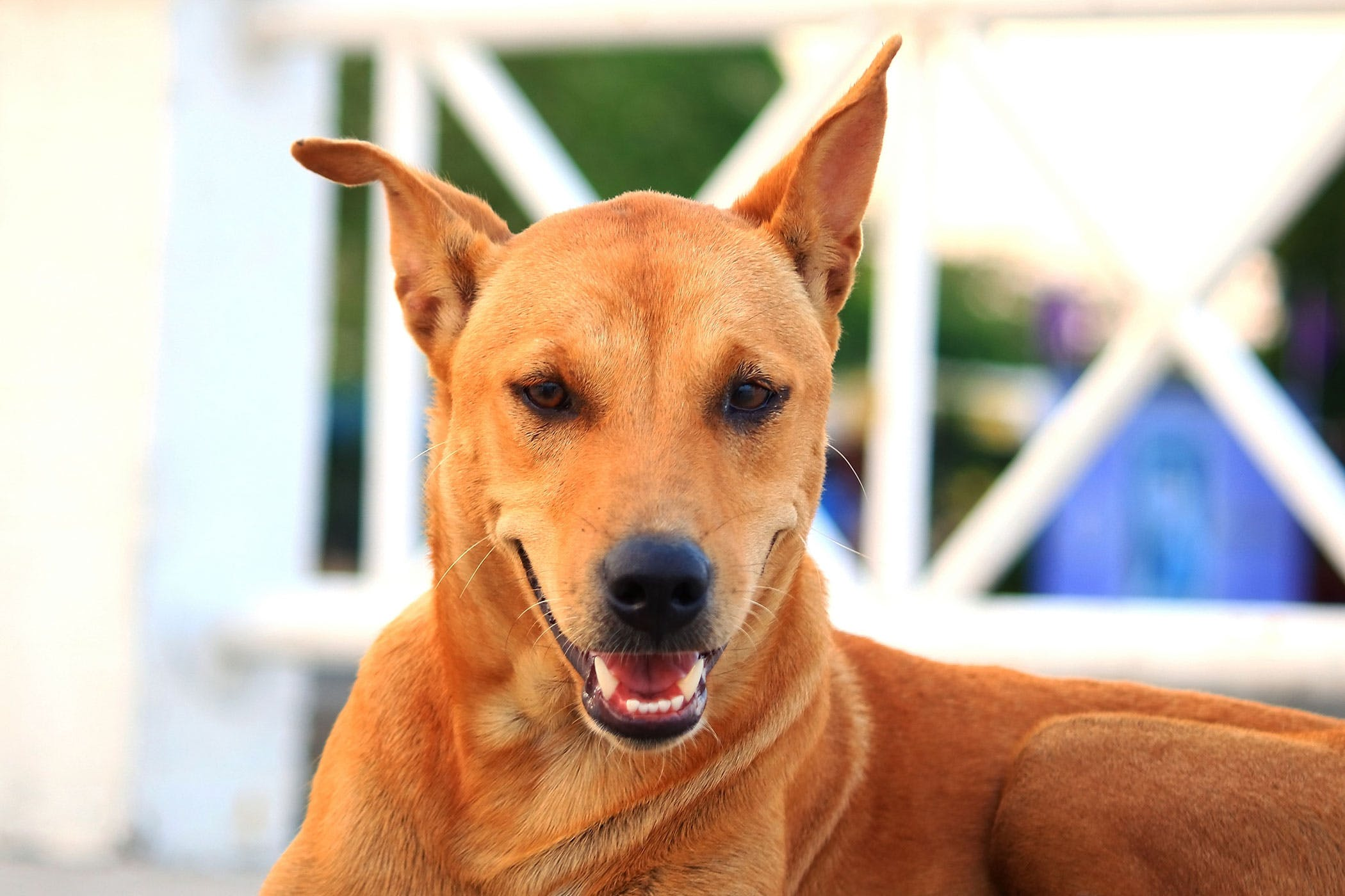 Aortic Thromboembolism in Dogs - Symptoms, Causes, Diagnosis