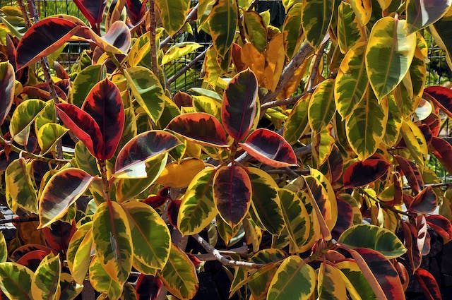 Apple Leaf Croton Poisoning in Dogs - Symptoms, Causes, Diagnosis, Treatment, Recovery, Management, Cost