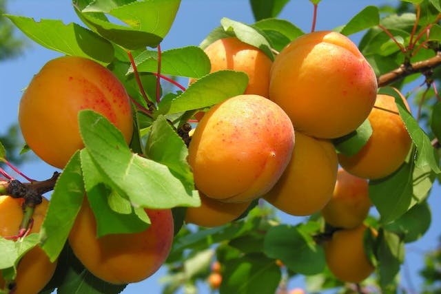 Apricot Poisoning in Dogs - Symptoms, Causes, Diagnosis, Treatment, Recovery, Management, Cost