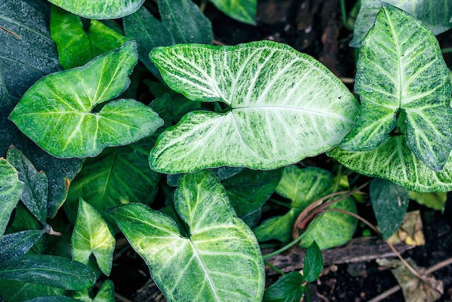 Arrowhead Vine Poisoning in Dogs - Symptoms, Causes, Diagnosis, Treatment, Recovery, Management, Cost