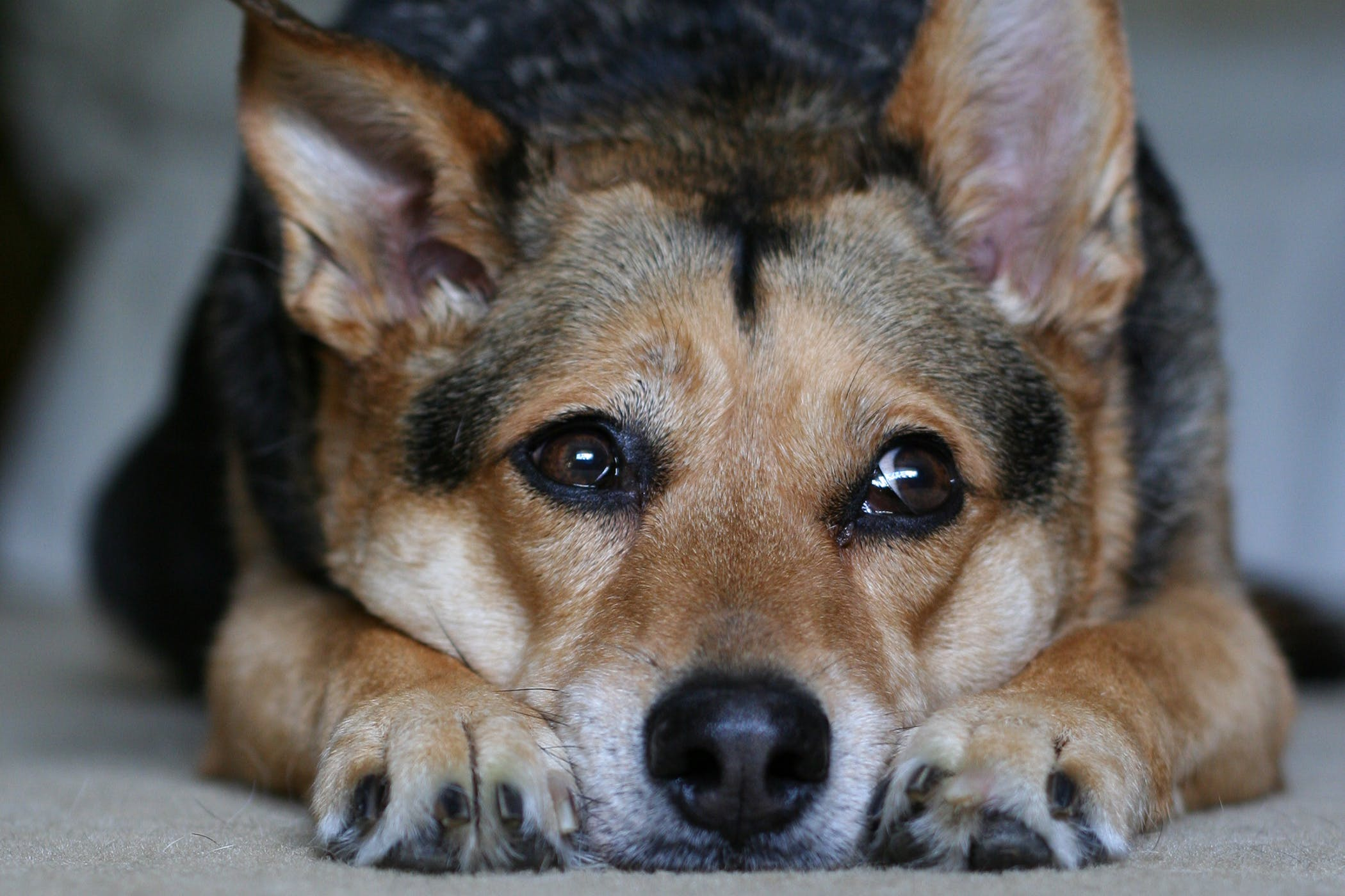 Arsenic Poisoning In Dogs Symptoms Causes Diagnosis