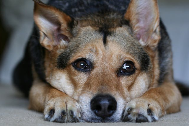 Arsenic Poisoning in Dogs - Symptoms, Causes, Diagnosis, Treatment, Recovery, Management, Cost