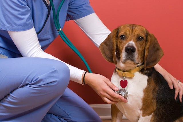 Artery inflammation in dogs, or peripheral artery disease, can have many causes. - Symptoms, Causes, Diagnosis, Treatment, Recovery, Management, Cost