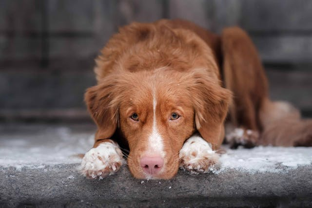 Arthrocentesis in Dogs - Conditions Treated, Procedure, Efficacy, Recovery, Cost, Considerations, Prevention