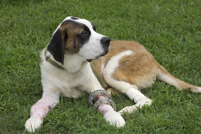 Arthroscopic Surgery in Dogs - Conditions Treated, Procedure, Efficacy, Recovery, Cost, Considerations, Prevention
