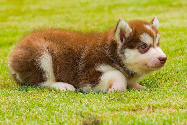Aseptic Meningitis in Dogs - Symptoms, Causes, Diagnosis, Treatment, Recovery, Management, Cost