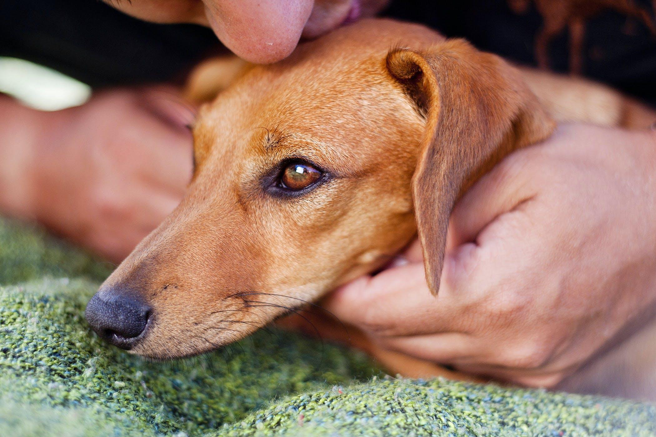 dog pneumonia survival rate