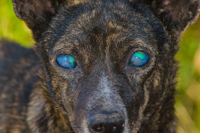 Asteroid Hyalosis in Dogs - Symptoms, Causes, Diagnosis, Treatment, Recovery, Management, Cost