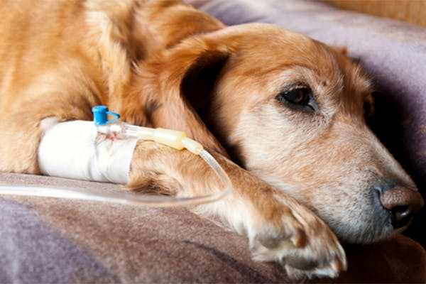 Atomozetine Poisoning in Dogs - Symptoms, Causes, Diagnosis, Treatment, Recovery, Management, Cost