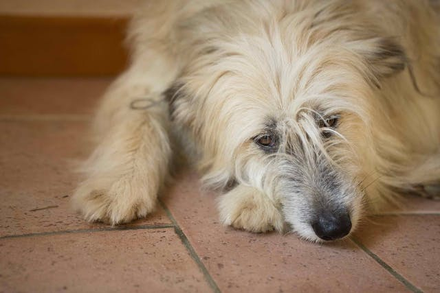 Atypical Addison's Disease in Dogs - Symptoms, Causes, Diagnosis, Treatment, Recovery, Management, Cost