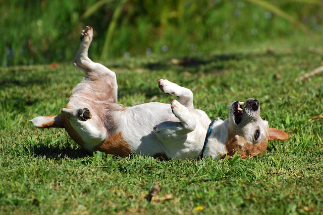 Aujeszky Disease in Dogs - Symptoms, Causes, Diagnosis, Treatment, Recovery, Management, Cost