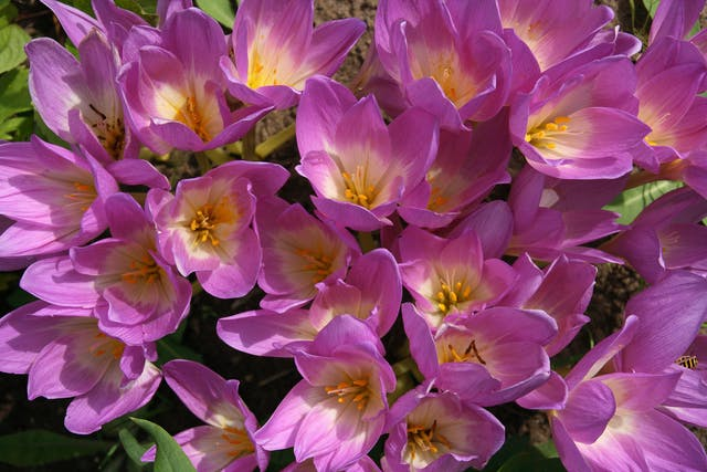Autumn Crocus Poisoning in Dogs - Symptoms, Causes, Diagnosis, Treatment, Recovery, Management, Cost