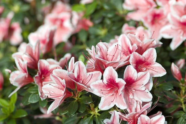 Azalea Poisoning in Dogs - Symptoms, Causes, Diagnosis, Treatment, Recovery, Management, Cost