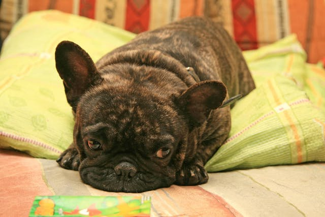 Back Problems in Dogs - Symptoms, Causes, Diagnosis, Treatment, Recovery, Management, Cost