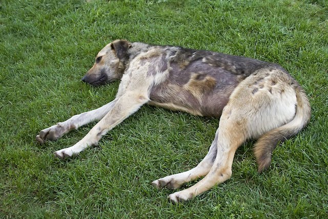 Baclofen Poisoning in Dogs - Symptoms, Causes, Diagnosis, Treatment, Recovery, Management, Cost