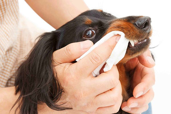 Bacteria, Plaque and Tartar in Dogs - Symptoms, Causes, Diagnosis, Treatment, Recovery, Management, Cost