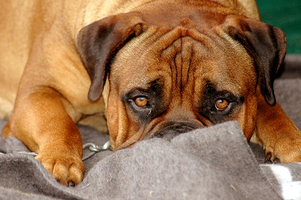 Bacterial Hypersensitivity to Staph Infections in Dogs