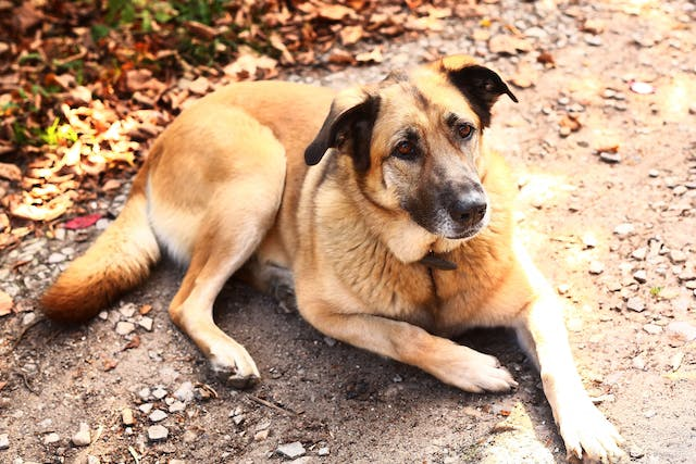Bacterial Infection (Acoleplasma) in Dogs - Symptoms, Causes, Diagnosis, Treatment, Recovery, Management, Cost