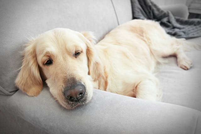 Bacterial Infection (Campylobacteriosis) in Dogs - Symptoms, Causes, Diagnosis, Treatment, Recovery, Management, Cost