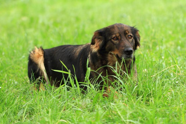 Bacterial Infection (Metritis) of the Uterus in Dogs - Symptoms, Causes, Diagnosis, Treatment, Recovery, Management, Cost