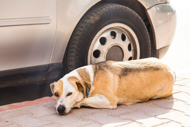 Bacterial Infection (Pyelonephritis) of the Kidneys in Dogs - Symptoms, Causes, Diagnosis, Treatment, Recovery, Management, Cost