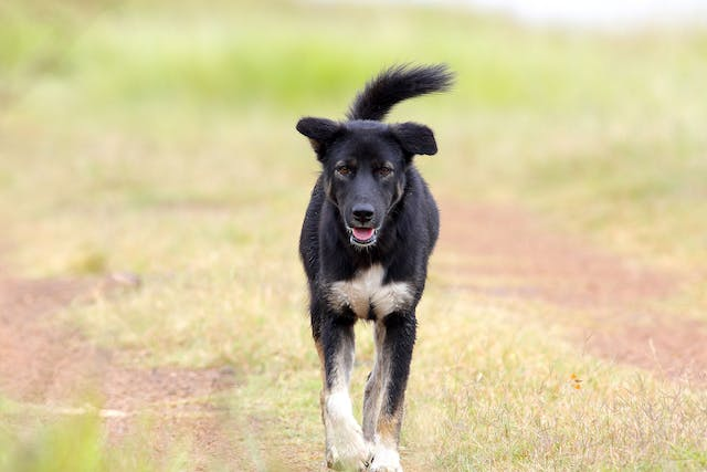 Bacterial Infection (Tularemia) in Dogs - Symptoms, Causes, Diagnosis, Treatment, Recovery, Management, Cost