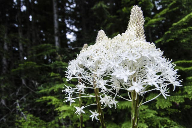 Bear Grass Poisoning in Dogs - Symptoms, Causes, Diagnosis, Treatment, Recovery, Management, Cost