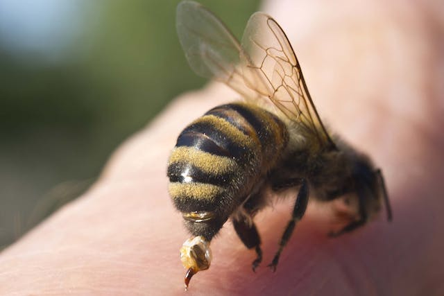 Bee Sting Allergies in Dogs - Symptoms, Causes, Diagnosis, Treatment, Recovery, Management, Cost