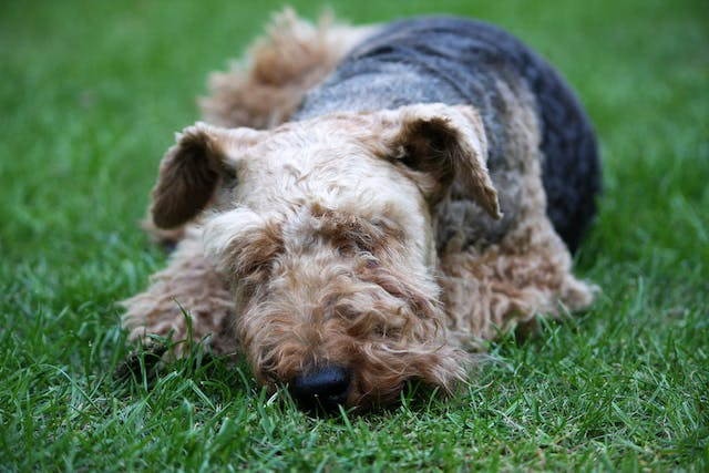 Benzodiazepines Poisoning in Dogs - Symptoms, Causes, Diagnosis, Treatment, Recovery, Management, Cost