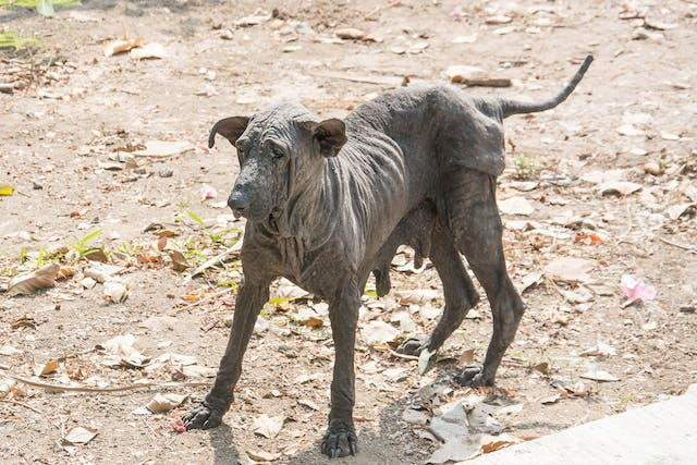 Black Skin Disease in Dogs - Symptoms, Causes, Diagnosis, Treatment, Recovery, Management, Cost