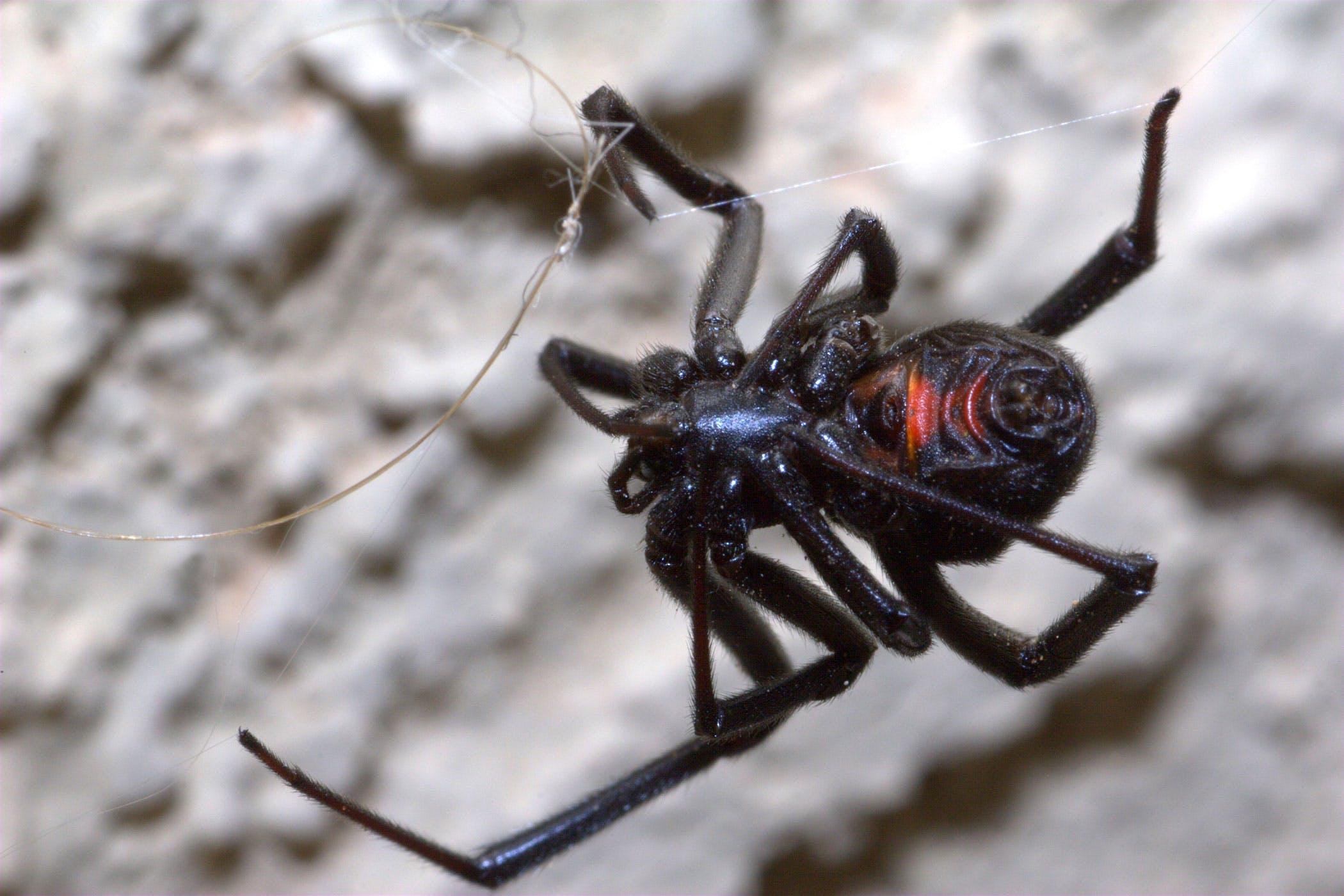 Black Widow Spider Poisoning in Dogs