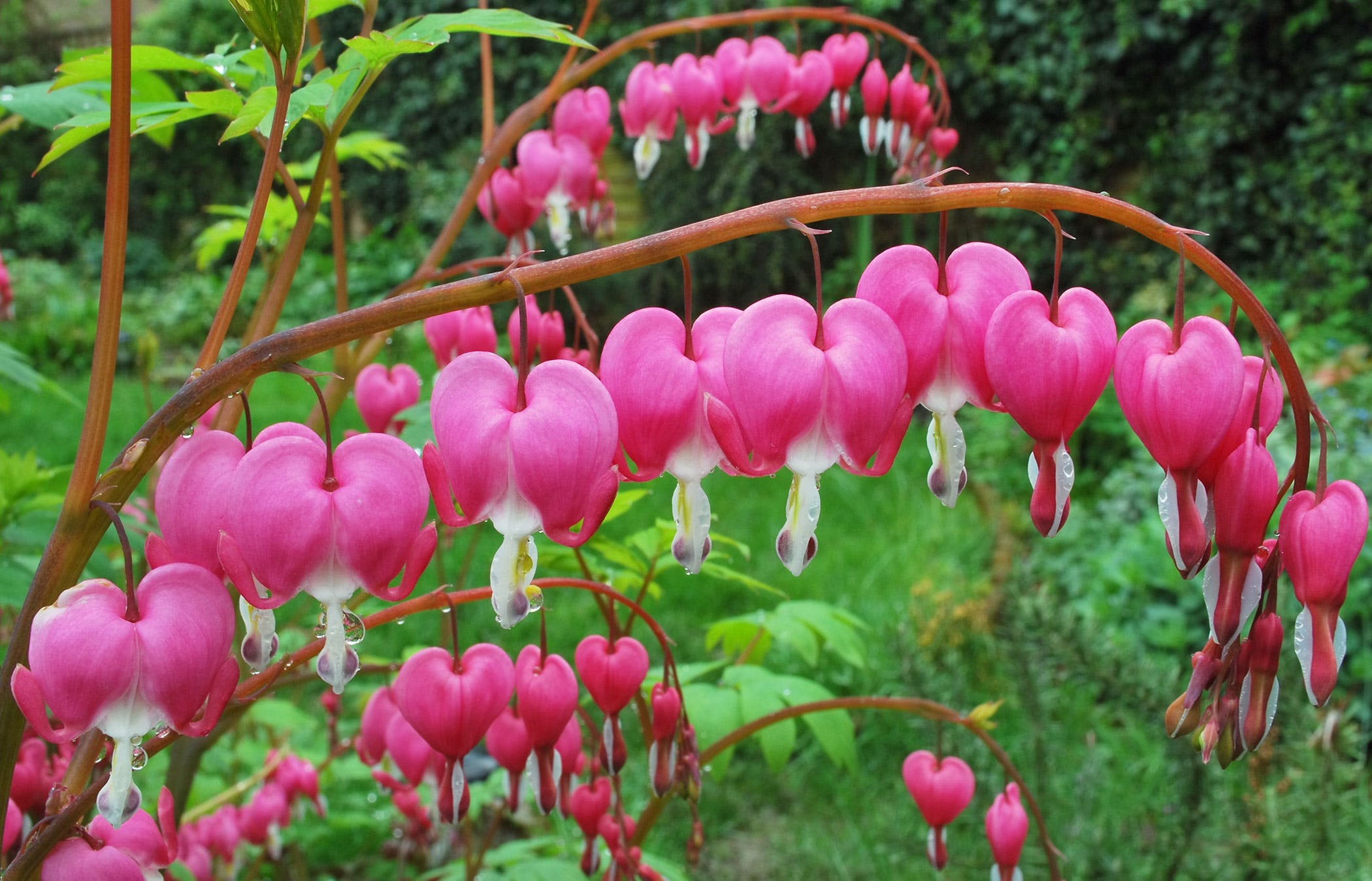 Bleeding Hearts Poisoning In Dogs Symptoms Causes Diagnosis