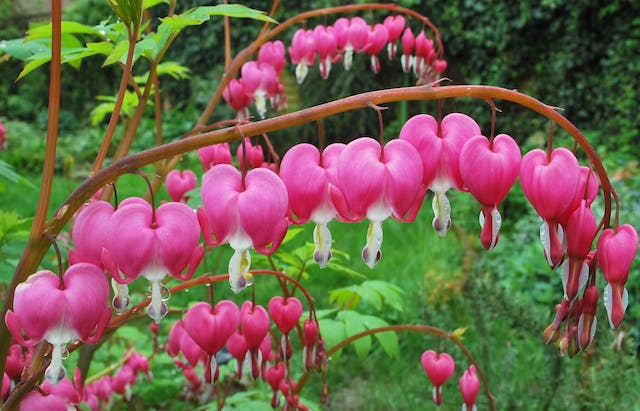 Bleeding Hearts Poisoning in Dogs - Symptoms, Causes, Diagnosis, Treatment, Recovery, Management, Cost