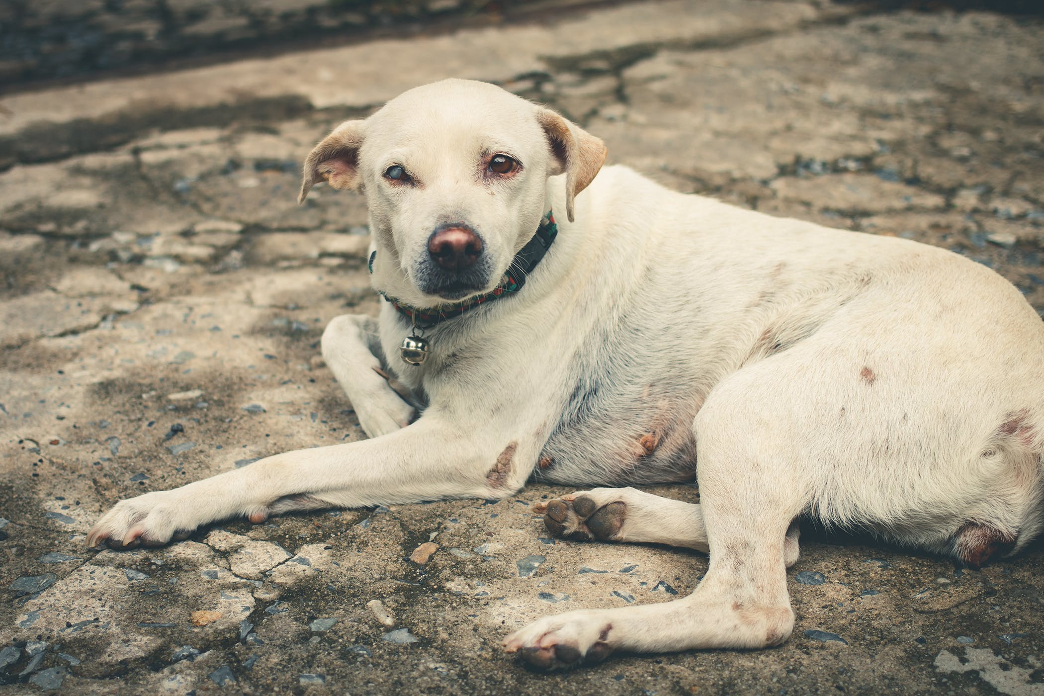 Blind Quiet Eye In Dogs Symptoms Causes Diagnosis Treatment