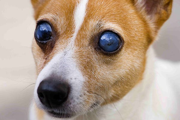 Blindness in Dogs - Symptoms, Causes, Diagnosis, Treatment, Recovery, Management, Cost