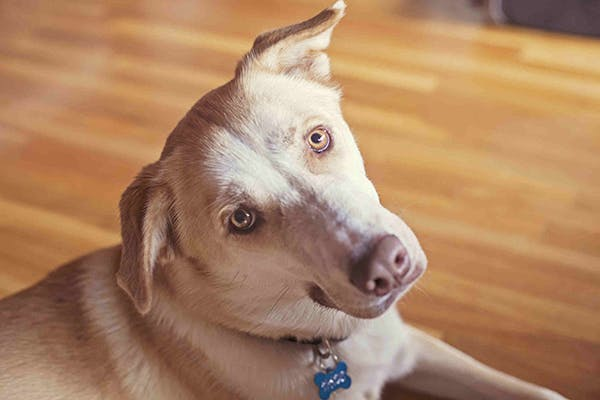 Blood Clots in Dogs - Symptoms, Causes, Diagnosis, Treatment, Recovery, Management, Cost
