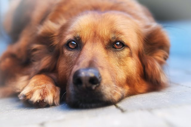 Blood in the Urine in Dogs - Symptoms, Causes, Diagnosis, Treatment, Recovery, Management, Cost