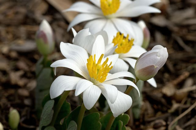 Bloodroot Poisoning in Dogs - Symptoms, Causes, Diagnosis, Treatment, Recovery, Management, Cost