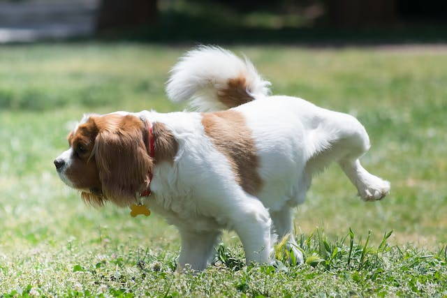 Body Wall Herniorrhaphy in Dogs - Conditions Treated, Procedure, Efficacy, Recovery, Cost, Considerations, Prevention