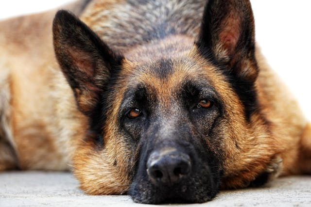 Bone Cancer in Dogs - Symptoms, Causes, Diagnosis, Treatment, Recovery, Management, Cost