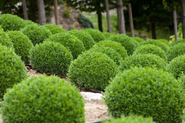 Boxwood Tree Poisoning in Dogs - Symptoms, Causes, Diagnosis, Treatment, Recovery, Management, Cost