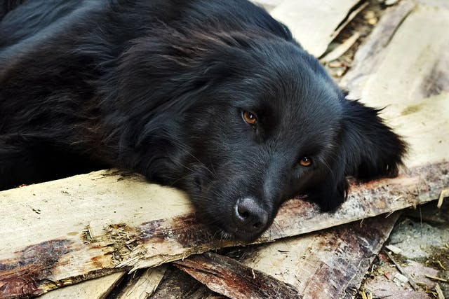 Brain Disorder Due to Liver Disease in Dogs - Symptoms, Causes, Diagnosis, Treatment, Recovery, Management, Cost
