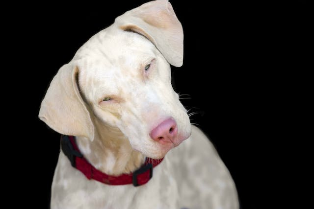 Brain Inflammation in Dogs - Symptoms, Causes, Diagnosis, Treatment, Recovery, Management, Cost