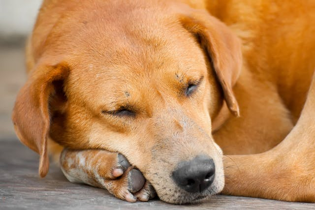 Brain Injury in Dogs - Symptoms, Causes, Diagnosis, Treatment, Recovery, Management, Cost